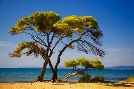 paisaje mediterraneo: Los �rboles de pino en la playa en verano Schinias, Grecia. Foto de archivo