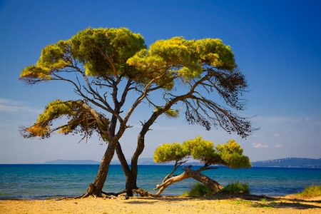 Pine trees at the Schinias beach in summer, Greece.