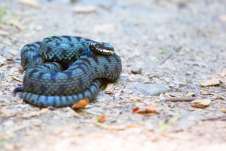 Close up of common european adder (Vipera berus) in summer. Stock Photo