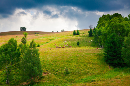 in europe: Cows grazing on a slope in Semenic Mountains, Romania. Stock Photo