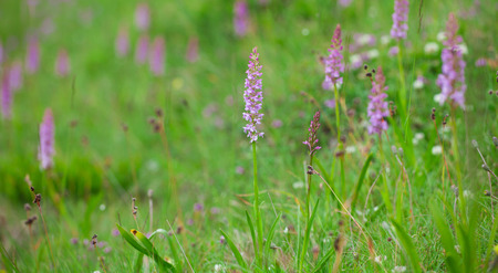 calcareous: Gymnadenia conopsea, the fragrant orchid on a meadow. Stock Photo