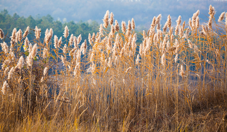 Landscape with sunlight falling on reed nearby Stanca village, Iasi, Romania. Stock Photo