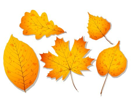 A set of autumn leaves such as walnut, oak, birch, linden and maple. Realistic vector illustration