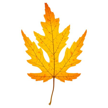 Autumn bright maple leaf. Realistic vector illustration isolated on white background.