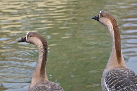 bogazici: Geese