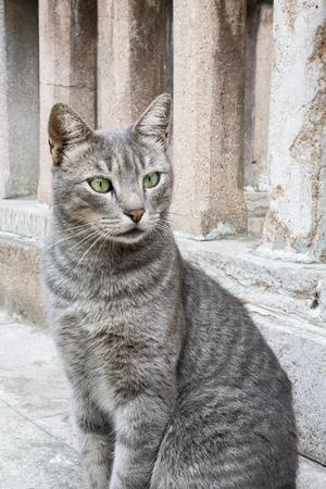 gray cat: Portrait of gray cat.