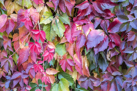 Colorful autumn creeper leaves together with green leaves in Canakkale, Turkey