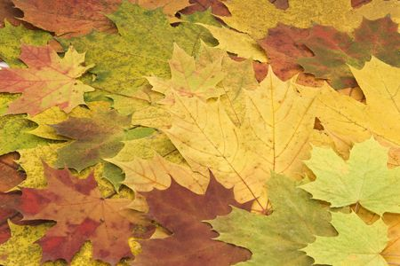Colorful brightly colored autumn leaves are collected in a single background. Stock Photo - 8088995
