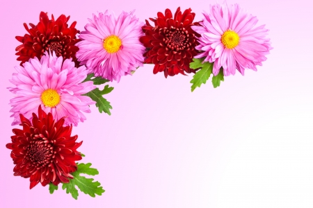 Frame of living chrysanthemums on a pink background  photo