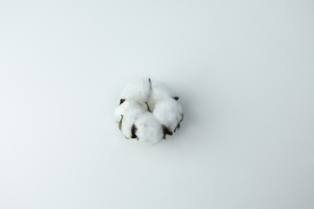 Cotton soft plant on white background Standard-Bild - 121337008