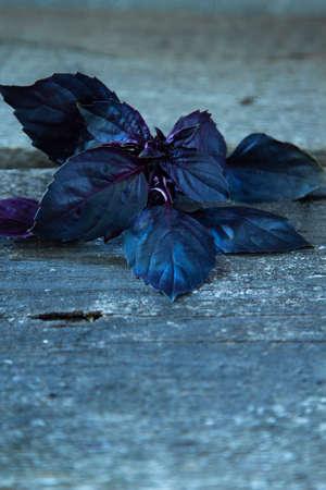 Fresh red basil herb leaves on rustic wooden table. Purple Dark Opal Basil