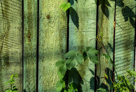 Old green painted wood plank with green leaves texture background Archivio Fotografico