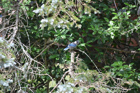 blue jay bird: Blue Jay bird sitting on a branch in a tree.