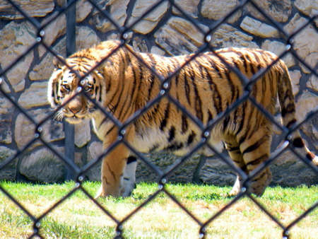 chain link fence: Tiger in chain link fence cage