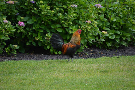 strutting: Colorful Rooster strutting his feathers.