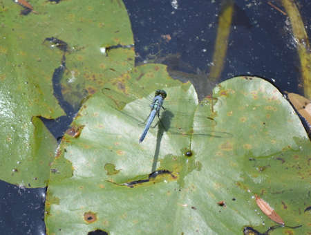 dragon fly: A dragon fly on a lily pad