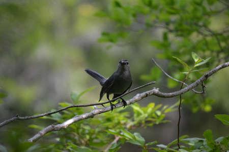 bird feet: A black bird on a branch staring at the camerman. Stock Photo