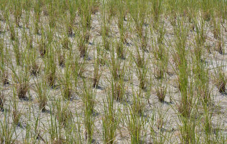 Beach Dunes Planted With Grass