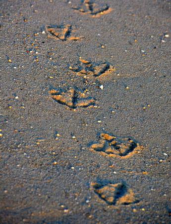 vogelspuren: Ein Weg der Möwe Spuren im Sand. Leinen los.