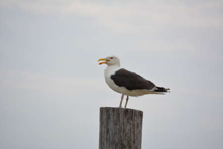 piling: Seagull On A Piling Stock Photo