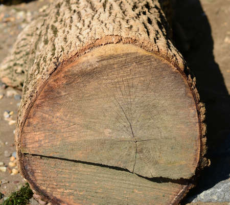 A sawcut Driftwood oak tree 版權商用圖片