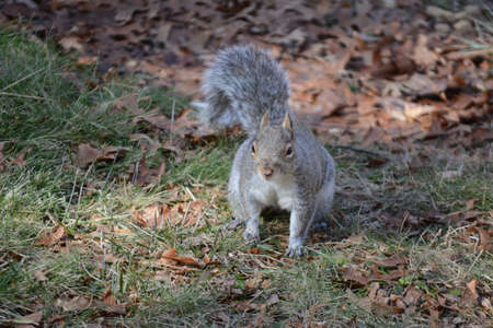 furry tail: Squirrel searching for food. Stock Photo