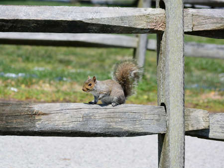 A squirrel getting sun on a fence, it is taking a break from searching for food.