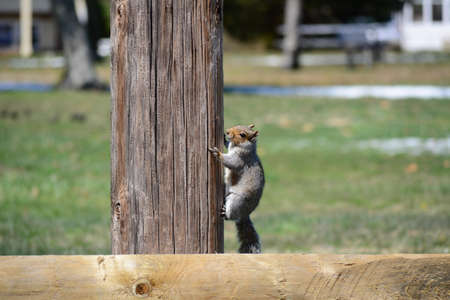 A squirrel in a park climbing a pole after searching for food.