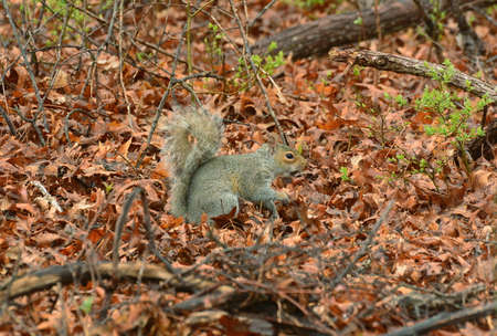 A Gray Squirrel searching for food. Stock Photo
