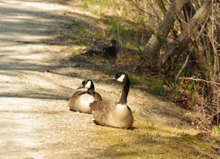 Two Candian Geese