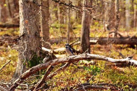 blue jay bird: Blue Jay Bird