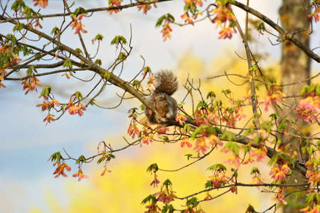 Gray Squirrel in Tree eating.
