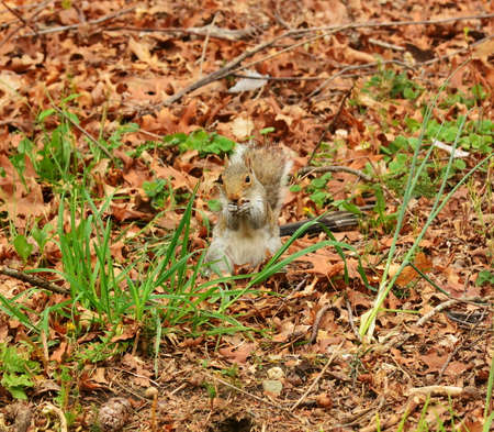 Gray Squirrel eating an Acorn seed.