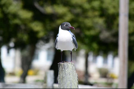 Seagull sitting on a fence post