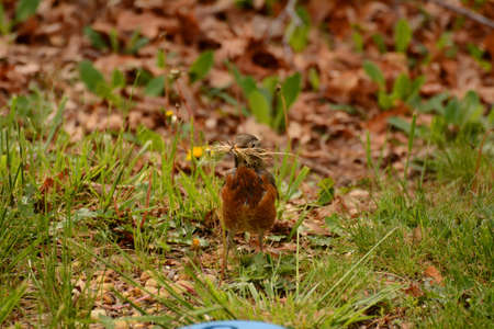 Robin Gathering Nesting Material