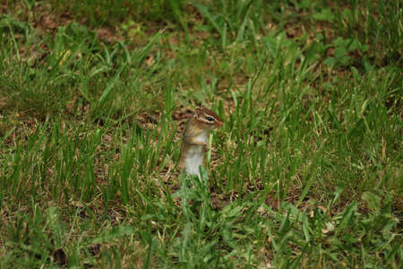 A little Chipmunk looking around Stock fotó