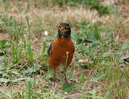Robin with Bug in Beak