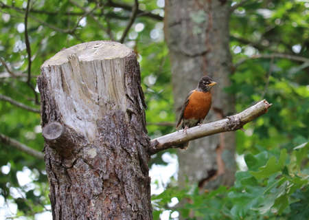 Robin in Tree Stock Photo