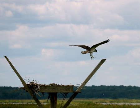 nesting: An Osprey by the nesting area.