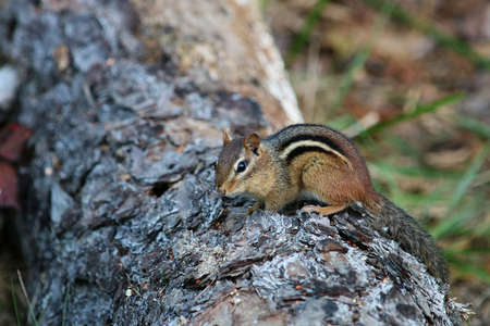 Chipmunk looking for food. Stock Photo