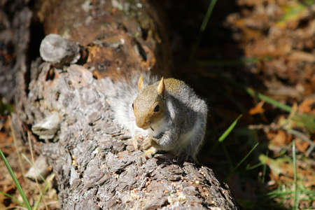Grey Squirrel Eating on Log