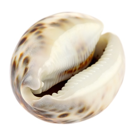 Sea shell isolated on white background. Intentional shallow depth of field. Studio work.  photo