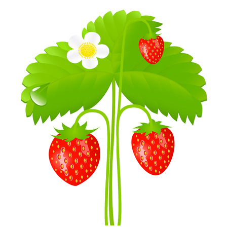 Vector illustration of ripe strawberry