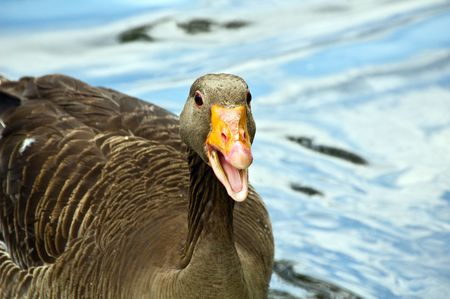 anser: Gray lag goose. Anser anser.