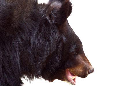 asiatic: The Asiatic Black Bear (Ursus thibetanus, Selenarctos thibetanus), also known as the Tibetan black bear, the Himalayan black bear, or the moon bear. Isolated on white background. Stock Photo