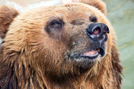 arctos: Close-up di un orso bruno. Ursus arctos.