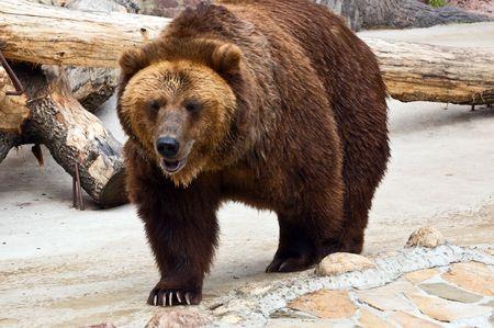 Close-up of a brown bear. Ursus arctos.