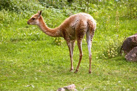 guanaco: Llama guanaco (Lama guanicoe)