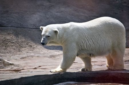 Polar bear. Ursus maritimus