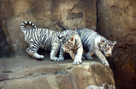 White bengal tiger cubs